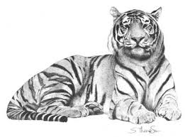 tiger drawing pictures. Wonderful Drawing Pencil Drawings Of Tigers  Tiger Pencil Drawing Graphite Inside Drawing Pictures S