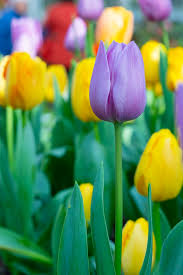 tulip flower wallpaper colorful