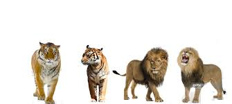 siberian tiger vs bengal tiger. Contemporary Siberian Siberian Tiger And Bengal 77 2 African Lions 23 No Caption  Provided To Vs N