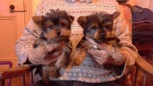 awsome male and female yorkie puppies for call