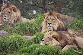 wild animals in african jungle.  African At The Moment With An Increase In Animal Rights And Protection You  Find That Where These Lions Have Been Bred Captivity Lifespan Has  On Wild Animals In African Jungle