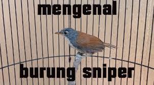 Burung flamboyan ini termasuk burung. Inilah Keistimewaan Burung Sniper Harga Dan Suara