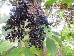 Ripe And Nearly Ripe Blackberry Fruit On Bramble Bush In Hedgerow Fruit Tree Hedgerow
