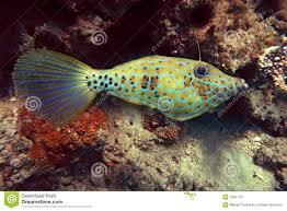 scrawled filefish. Simple Scrawled Scrawled Filefish Inside Filefish S