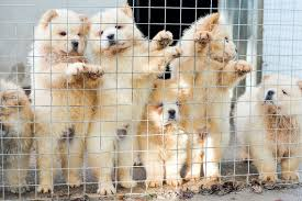 chow chows which have been smuggled in to the uk as bootleg breeders are illegally smuggling thousands of puppies into britain to meet christmas demand