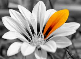 black and white photography with color flowers. Delighful And 20yellowcolorsplashflower Inside Black And White Photography With Color Flowers K