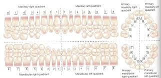 Palmer Notation Charting Primary Dentition Palmer Numbering System Dental