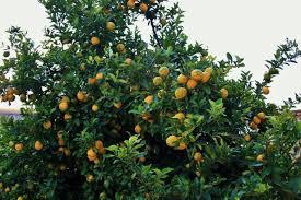 Lemon Tree Bearing Fruit Free Stock Photo  Public Domain PicturesTree Bearing Fruit