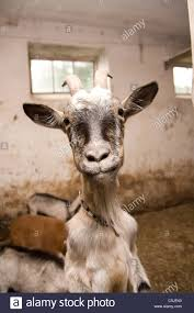 funny goat posing in a le