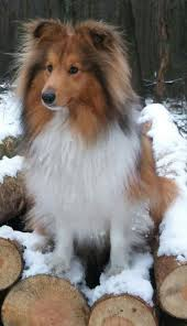 19 adorable sheltie shetland sheepdog sheltie sheltiesundays abundantlifedreams shetlandsheepdog puppy puppies
