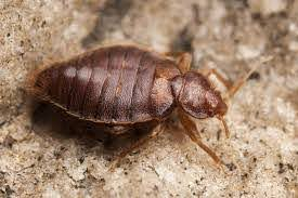 33+ Bed Bugs Can Fly Or Not  Gif