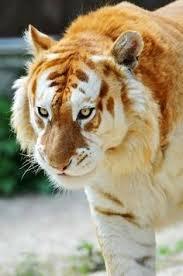 white lion and white tiger mix. Simple Mix Lion Tiger Crosses  NiteLifeBuzz  I Think Thatu0027s A Liger Crossbreed Of Intended White Lion And Tiger Mix O
