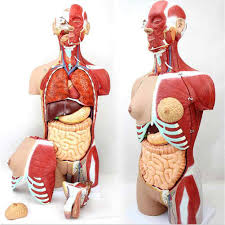 Muscles of the lower limb | anatomy model. Amazon Com Mkulous Human Torso Anatomical Model Unisex Medical Torso Model 29 Parts With Organ System Includes Features Detailed Muscle Anatomy For Teaching Supplies Sports Outdoors