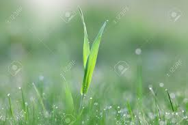 grass blade close up. Close Up Shot Of Grass Blades With Dew On Meadow Stock Photo - 77062544 Blade
