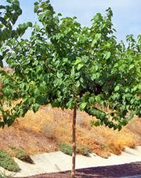The 25 Best Mulberry Tree Ideas On Pinterest  Mulberry Fruit Teas Weeping Fruiting Mulberry Tree