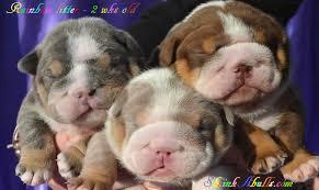 lilac bulldog puppies chocolate blue tri english bulldog puppies