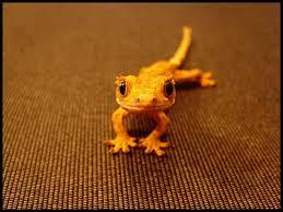 crested geckos are super adorable