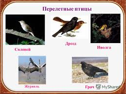 Презентация на тему Птицы осенью Окружающий мир класс УМК  8 Перелетные птицы Грач Иволга Дрозд Журавль Соловей