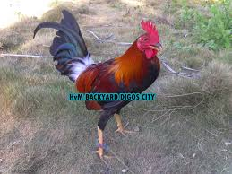 Gamefowl 101 Everything You Want To Know About Gamefowls