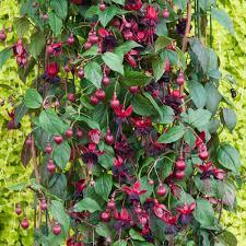 5 Of The Best Climbing Plants  Landscape Gardening SuppliesClimbing Plant