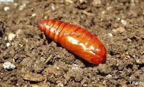 Black Cutworms Peppers Ontario Cropipm