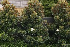 Dwarf magnolia screen for north backyard fence line