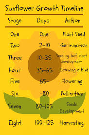 Sunflower Growing Chart Sunflower Growth Timeline And Life Cycle 8 Stages With