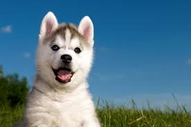 baby husky wallpaper. Modren Wallpaper 4288x2848 Grass Husky Puppy Wallpaper  291237  WallpaperUP With Baby Husky Wallpaper