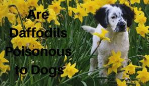 dogs eating daffodils