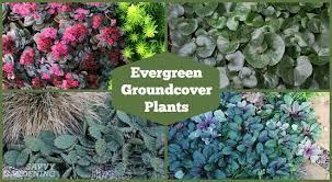 evergreen groundcover plants 20