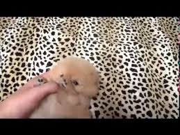 teacup pomeranian puppies for sale 250.  Sale Inside Teacup Pomeranian Puppies For Sale 250 M