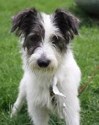 wire haired terrier mix. Plain Wire Scout  Wire Fox Terrier Mix Poland IN 5 Months Old For Haired Mix G