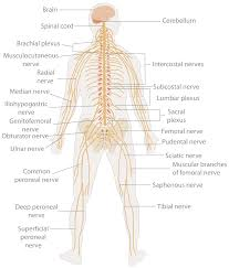 Flow Chart Of Nervous System In Human Beings Nervous System Wikipedia