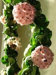 A flor de cera é uma espécie de planta trepadeira, mas que também pode ser usada como uma versão pendente, se cultivada em vaso suspenso. Comprar Pendentes Suculentas Cactos
