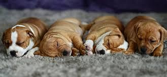 cute baby puppies sleeping.  Puppies Baby Cute Puppy Dog Sleeping Sleep Wallpaper  7045x3287 649108  WallpaperUP And Cute Puppies Sleeping F