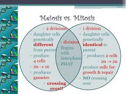 Venn Diagram Meiosis And Mitosis Comparing And Contrasting Mitosis And Meiosis Venn Diagram