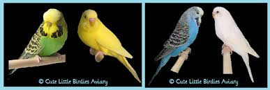Budgie Mutation And Color Guide Cute Little Birdies Aviary