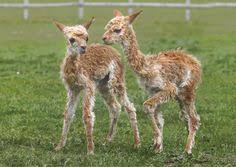 Image result for alpaca suri