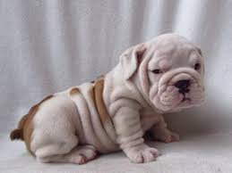 miniature english bulldog puppy. Brilliant Miniature Super Cute Miniature English Bulldog Puppies  Throughout Bulldog Puppy