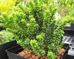 Taxus baccata-ის სურათის შედეგი