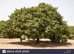 Image result for cashew nut tree image