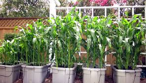 how to grow corn in containers