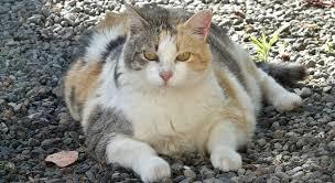 Chonk Chart For Cats Chonk Chonky Chonker Stayhipp