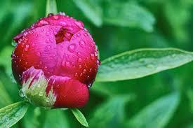 「しゃくやくの花」の画像検索結果