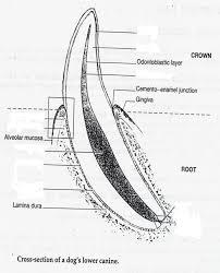 Dentistry 1 Diagram Quizlet