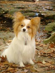 Papillon (dog) - Wikipedia