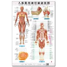Us 15 2 Anatomy Of The Human Body Muscle And Nerve Charts 3pcs Front Side Back English And Chinese Female Male Bilingual Posters In Flip Chart