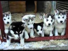 white and grey husky puppy. Delighful Puppy White Siberian Husky Puppies  Dog Breed Pictures And Grey Puppy H