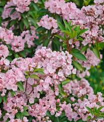 Shrub With Pink Flowers Blooming  Stock Photo  ColourboxShrub With Pink Flowers