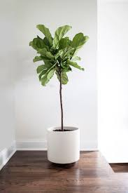 ... Indoor Tree Planter Plant Pots With Saucers Fidlle Leaf Fig Tree Ficus  White Pot ...
